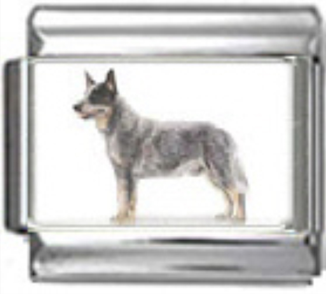 DG041-Australian-Cattle-Dog-2