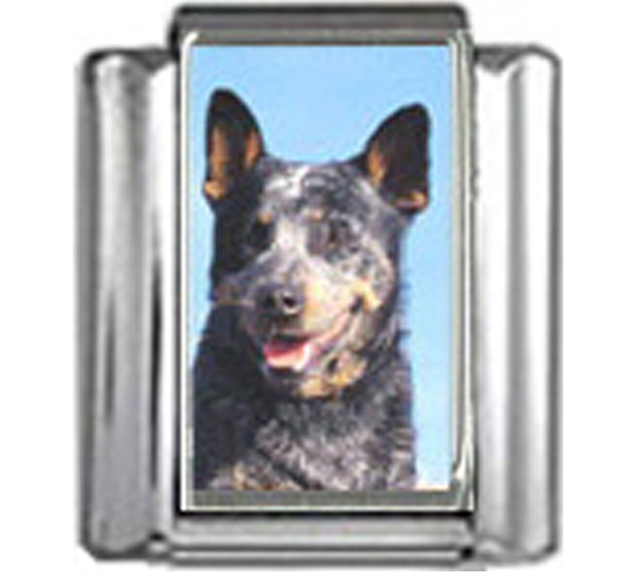 DG043-Australian-Cattle-Dog-4