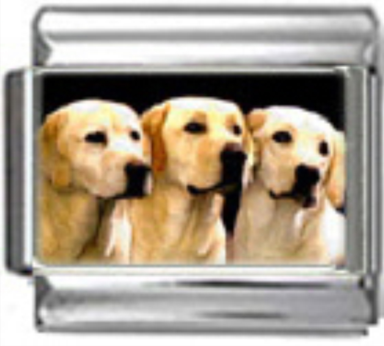 DG265-Labrador-Retriever-Dog-4