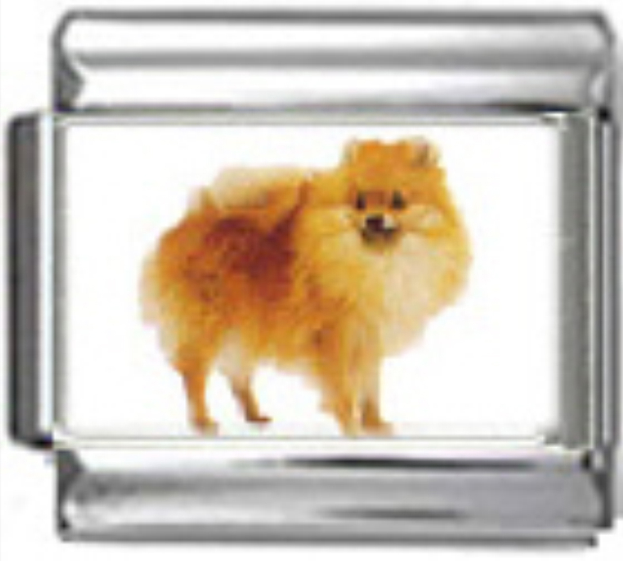 DG303-Pomeranian-Dog-2